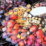 Szyszka palmy olejowej